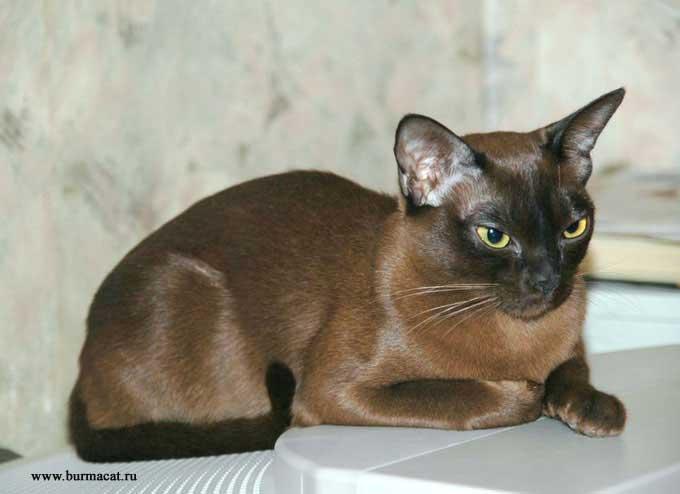 бурманская кошка соболиного окраса фото