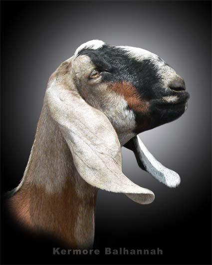 нубийский козёл фото